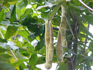 フジ (植物)の画像 p1_27